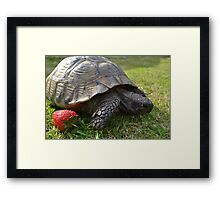 Tortoise With Strawberry Framed Print