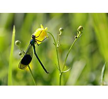 Male Banded Demoiselle (Calopteryx splendens) on a flower Photographic Print
