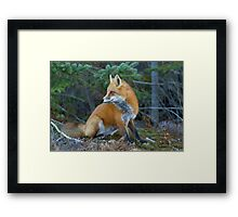 Red fox in Algonquin Park Framed Print