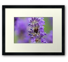 Rosemary Beetle (Chrysolina americana) on lavender. Framed Print