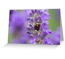 Rosemary Beetle (Chrysolina americana) on lavender. Greeting Card