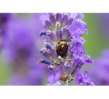 Rosemary Beetle (Chrysolina americana) on lavender. Photographic Print