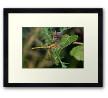 Immature or teneral Male Common Darter dragonfly(Sympetrum striolatum) perched on a leaf Framed Print