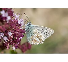 Chalkhill Blue butterfly (Polyommatus coridon) feeding on  Wild Marjoram flowers Photographic Print
