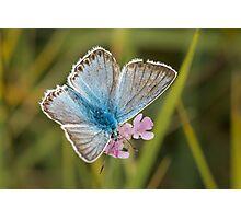 Male Chalkhill Blue butterfly (Polyommatus / Lysandra coridon) on small Scabious Photographic Print