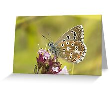 Male Adonis Blue butterfly (Polyommatus / Lysandra bellargus) on Marjoram Greeting Card
