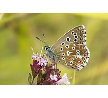 Male Adonis Blue butterfly (Polyommatus / Lysandra bellargus) on Marjoram Photographic Print