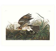Red-shouldered Hawk - John James Audubon Art Print