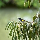 New Holland Honeyeater by Malcolm Katon