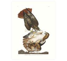 Red-tailed Hawk - John James Audubon  Art Print