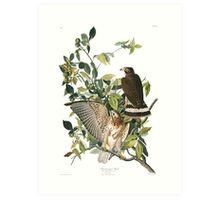 Broad-winged Hawk - John James Audubon Art Print