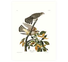 Merlin - John James Audubon Art Print