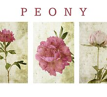 Peony Triptych by Circe Lucas