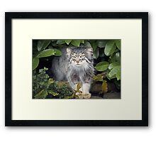 Wild Cats - Pallas Cat Framed Print