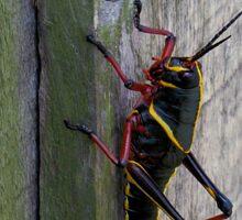 Lubber grasshopper climbing a fence Sticker