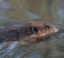 Beaver Fever  by Rebecca Joppru Connolly