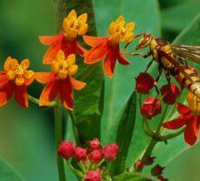 Yellow wasp on Scarlet Milkweed Sticker