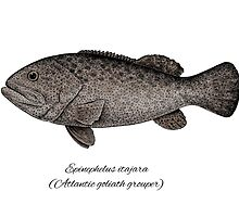 Grouper goliath by Eugenia Hauss