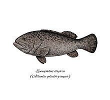 Grouper goliath Photographic Print
