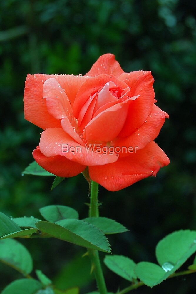 Rose with raindrops by Ben Waggoner