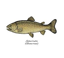 Brown trout Photographic Print