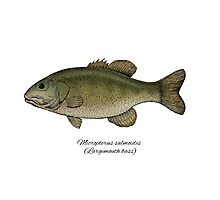 Largemouth bass Photographic Print