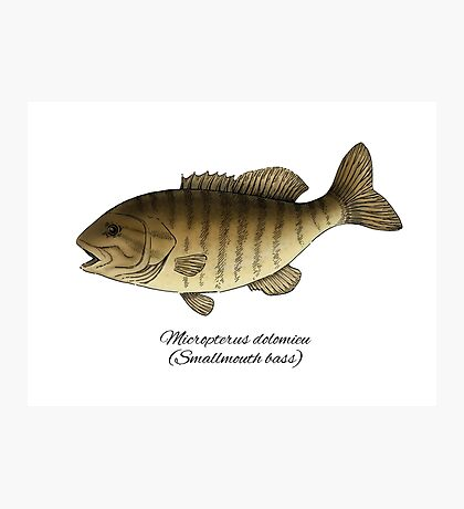 Smallmouth bass Photographic Print