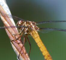 Amber dragon on a guy wire, Rear Sticker