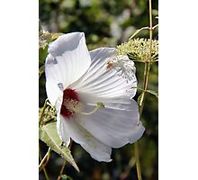 Hibiscus in its Glory Photographic Print