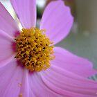 pink cosmos by Jeannine de Wet
