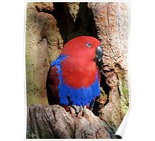Female Eclectus Parrot Resting Poster