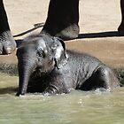 Baby Asian Elephant Enjoys Supervised Bathing by Margaret Saheed