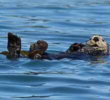 Nature Photo of Relaxed Sea Otter by griffingphoto