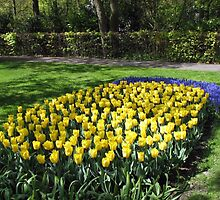 Bed of Yellow Tulips in the Keukenhof Gardens by BlueMoonRose