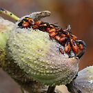 Large milkweed bugs by vigor