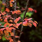 Red and gold - autumn leaves by Agnes McGuinness