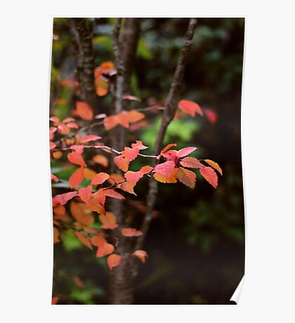 Red and gold - autumn leaves Poster