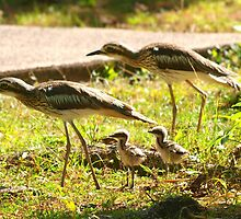 Curlews and young at Wonga Beach Queensland  by Virginia  McGowan