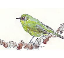 Cape White Eye (Witogie) Photographic Print