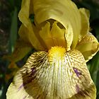 Bearded Iris muted yellow top petals & striped skirts. 'Arilka' Mount Pleasant. by Rita Blom