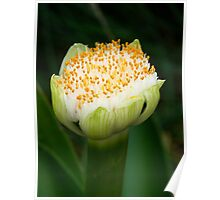 White Paintbrush Lily Poster