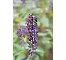 Single lavender Photographic Print