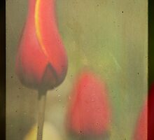 Spring Tulips by andymars