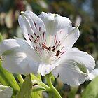 Alstroemeria (Peruvian Lily)  by AnnDixon