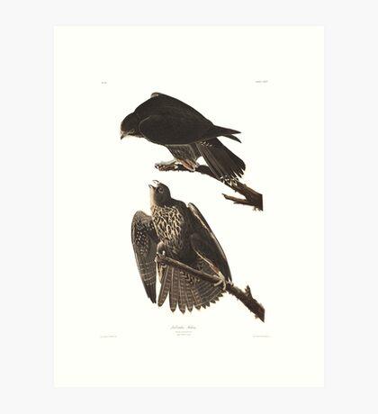 Gyrfalcon - John James Audubon Art Print