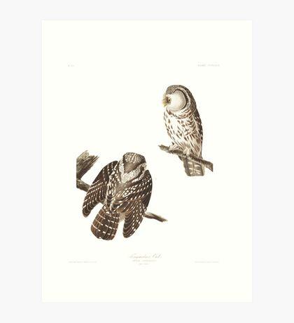 Boreal Owl - John James Audubon Art Print