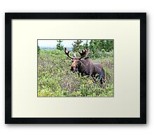 Munching Moose Framed Print