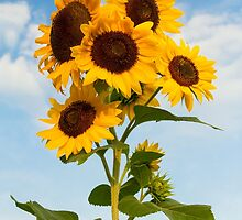 Sunflower Cluster by Kenneth Keifer