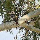 Kookaburras In a Tall Gum Tree by Sandra Chung