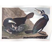 Great Cormorant - John James Audubon Poster